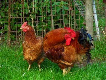 UWAGA! Wystąpiło zagrożenie wysoce zjadliwą grypą ptaków!